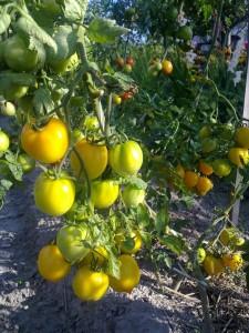 Лимон ліана